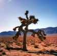 A Joshua Tree (Photo credit: Wikimedia Commons)