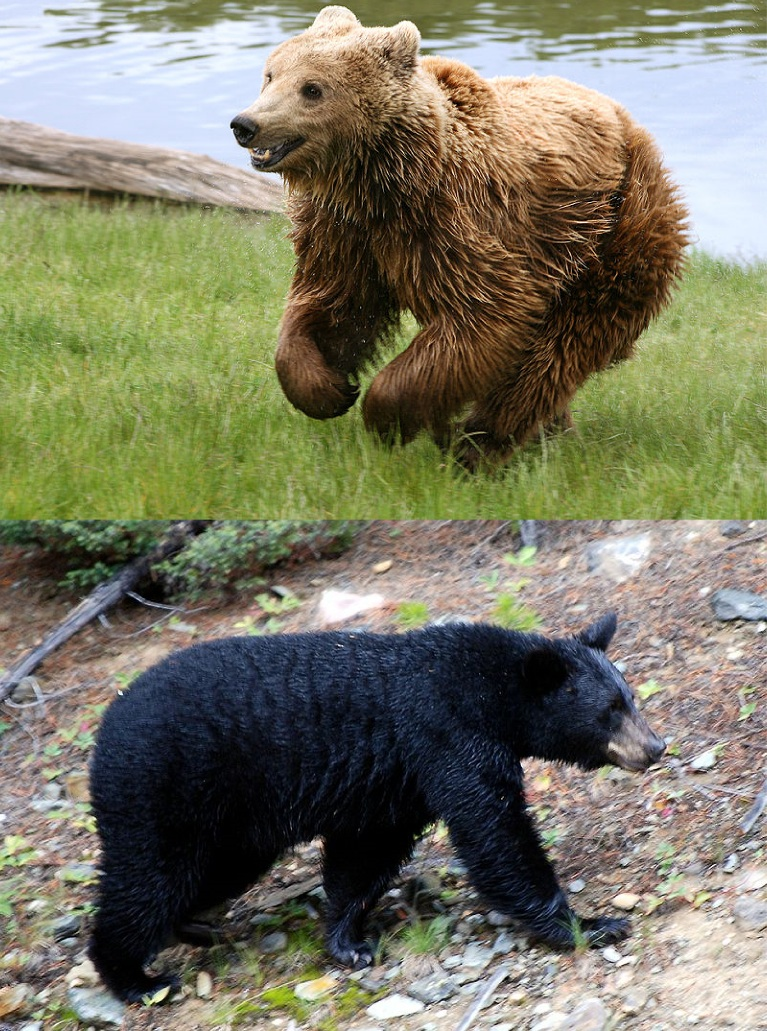 Brown and black bears (Photo credit: Wikimedia Commons)