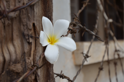 Frangipani outside Tuol Sleng (Photo credit: Henri Decoeur)