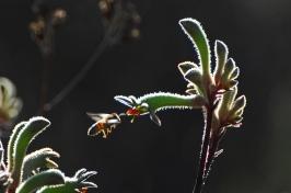 #8 Bee at Kangaroo Paw