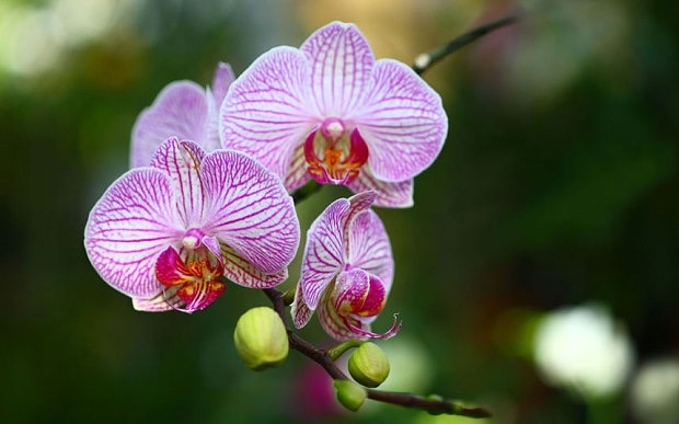 Striped Phalaenopsis Hybrid